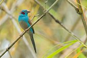 A male Red-Cheeked Cordon Bleu (Uraeginthus bengalus) perched in bamboo poster