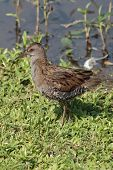 A juvenile Water Rail on the edge of a lake poster