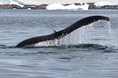 humpback whale tail at an angle which dives into the waters of the Antarctic poster