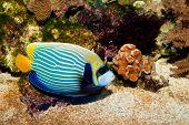 Emperor Angelfish (Pomacanthus imperator) in Reef Aquarium poster