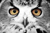 The wise eyes of an eagle owl poster
