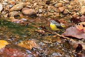 A close up of a Gray wagtail standing in the stream in Thailand poster