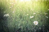 Amazing sunrise at summer meadow with wildflowers. Nature floral background in vintage style poster