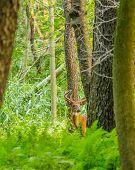 Whitetail Deer Buck In Velvet standing in the woods. poster
