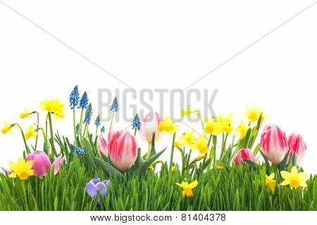 Spring flowers in green grass isolated on white background