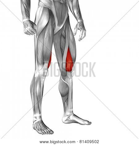 Concept or conceptual 3D vastus medialis human upper leg anatomy or anatomical and muscle isolated on white background poster