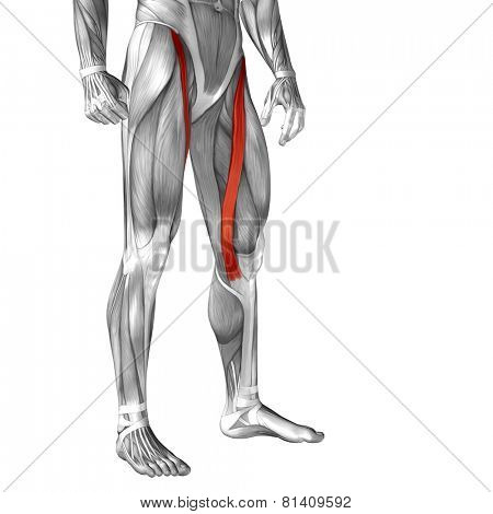Concept or conceptual 3D sartorius human upper leg anatomy or anatomical and muscle isolated on white background