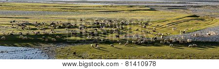Flock Of Sheep At The Sunset In The Zanskar  Valley