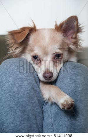 Chihuahua Between The Legs