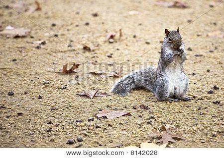Cute Squirrel Eating A Nut.