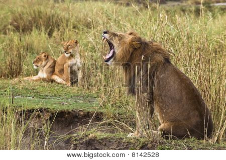 Adult Lion Yawning And Two Lionesses In The Background, Side View
