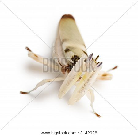 Female Hymenopus Coronatus, Malaysian Orchid Mantis, In Front Of White Background
