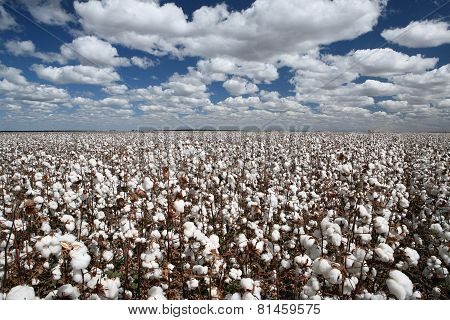 cotton plantation in contrast with blue sky and clouds ** Note: Visible grain at 100%, best at smaller sizes poster