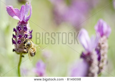 Honey Bee And Lavender
