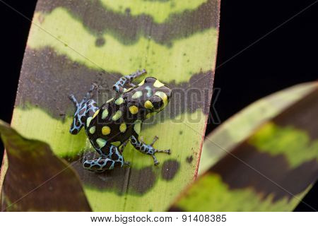yellow spotted poison dart frog, Ranitomeya vanzolinii from the tropiacal amazon rain forest of Peru