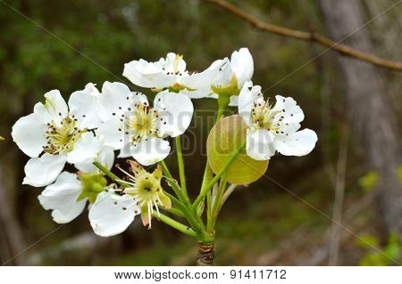 White Wild Pear Tree Blossoms, Closeup In Woods