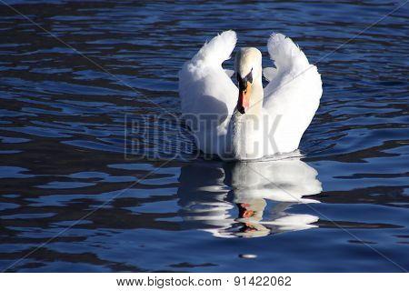 V-Shaped Swan