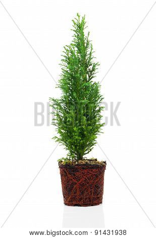 Cypress, Thuja With Roots