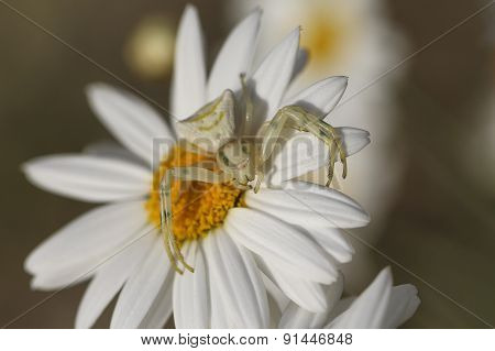 Close up white spider.