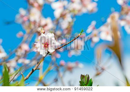 Close Up Of An Almond Flower