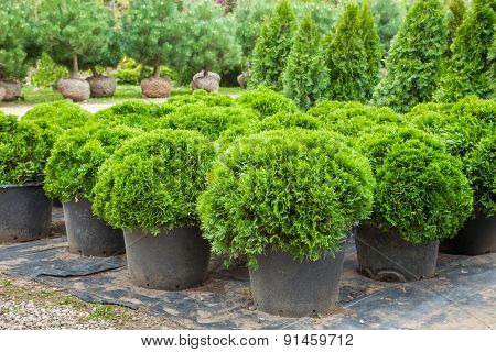 Cypresses Plants In Pots On Tree Farm