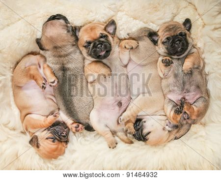 cute pug chug puppies on a lambskin blanket (SHALLOW DOF on one puppy)