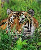 Bengal tiger in the tall green grasses. poster