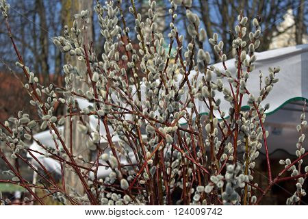 Catkin at Viktualienmarkt Munich Germany in spring