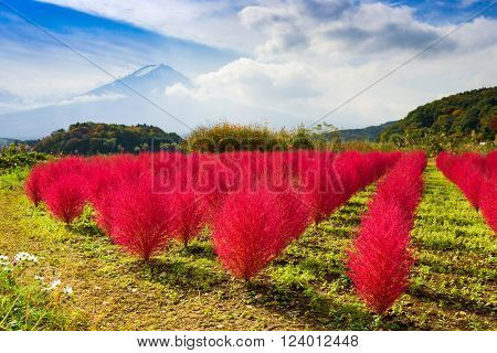 Kokia tumbleweed bushes during autumn near Mt. Fuji.