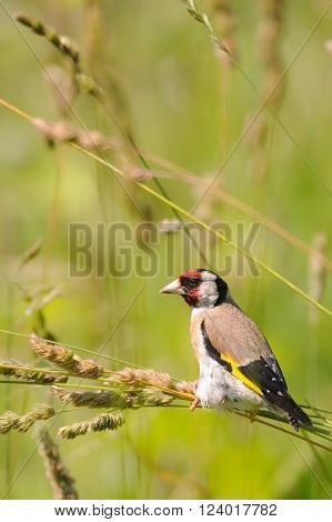 European goldfinch (Carduelis carduelis) at summer meadow. Moscow region Russia