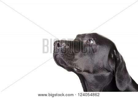 Portrait of a black Labrador Retriever looking up (isolated on white with empty space for your text)