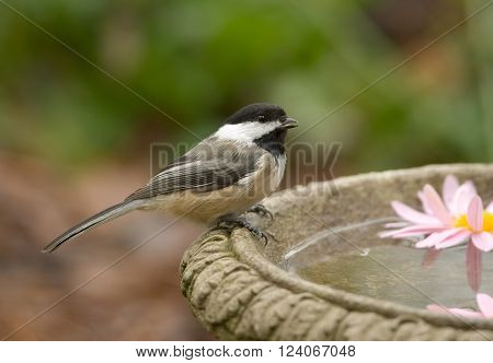 A cute Black-capped Chickadee flew in to take a drink from a bird bath on a crisp autumn day.