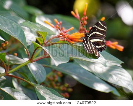 Zebra Longwing Butterfly collecting nectar from orange tubular flower of Firebush plant