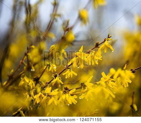 forsythia flower twigs with rain drops hanging on petals