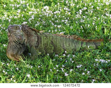 Molting Green Iguana in green grass surrounded by weeds with wildflowers displaying orange neck dewlap