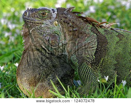 Extreme close up of molting Green Iguana in grass with orange neck dewlap on display