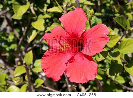 Red Hibiscus red flower in gardening, landscaping, and spring flowers.