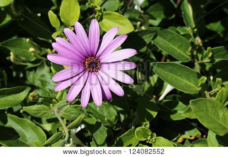 Purple Daisy Flower for Gardening and Landscaping.