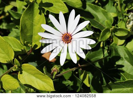 White Daisy Spring Flowers for Gardening and Landscaping