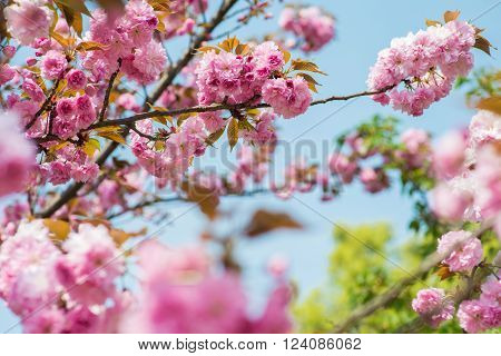 Pink Cherry Flowers blooming on the tree with leaves