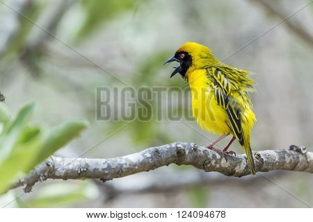 Specie Ploceus velatus family of Ploceidae, southern masked weaver nesting in Kruger Park
