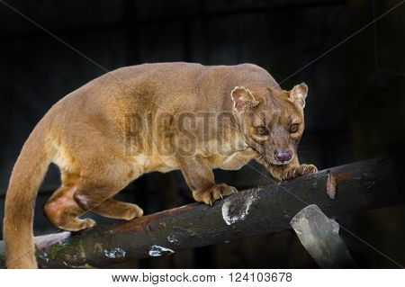 Malagasy fossa (Cryptoprocta ferox) walking on tree