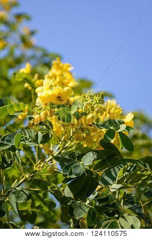 Flower of Scrambled Egg Tree - Senna surattensis Burm