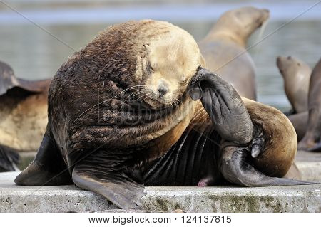 Sealion (Eumetopias jubatus) scratching it's head while lying on a rock
