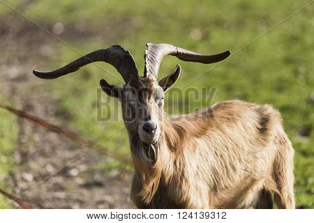Monza (Brianza Lombardy Italy): goat at pasture in the farm into the Monza Park