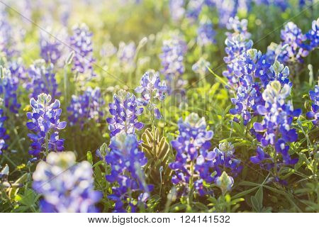A tight horizontal color shot of a field of Texas bluebonnets backlit by the sun.