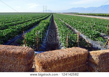 Field of bell peppers growing near Coachella, California.