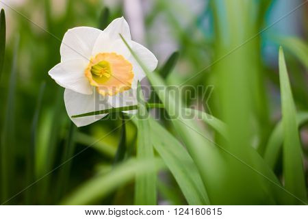 White and yellow daffodil in the green grass. Spring Nature. Spring. Spring flowers. Fresh greens. Warm May