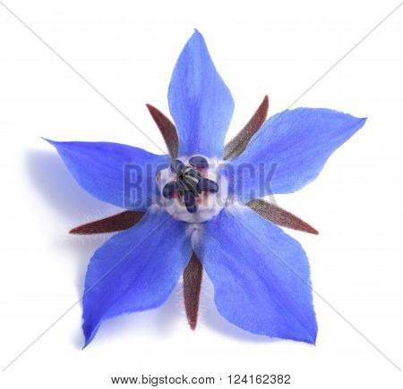 Borage flower isolated on a white background