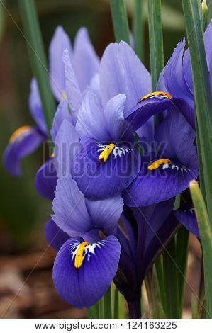 Dwarf beardless iris, flowers of the spring, Iris reticulata